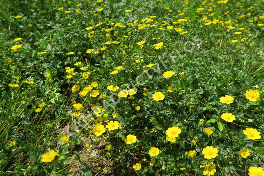Mochna alpská (Crantzův) - Potentilla crantzii