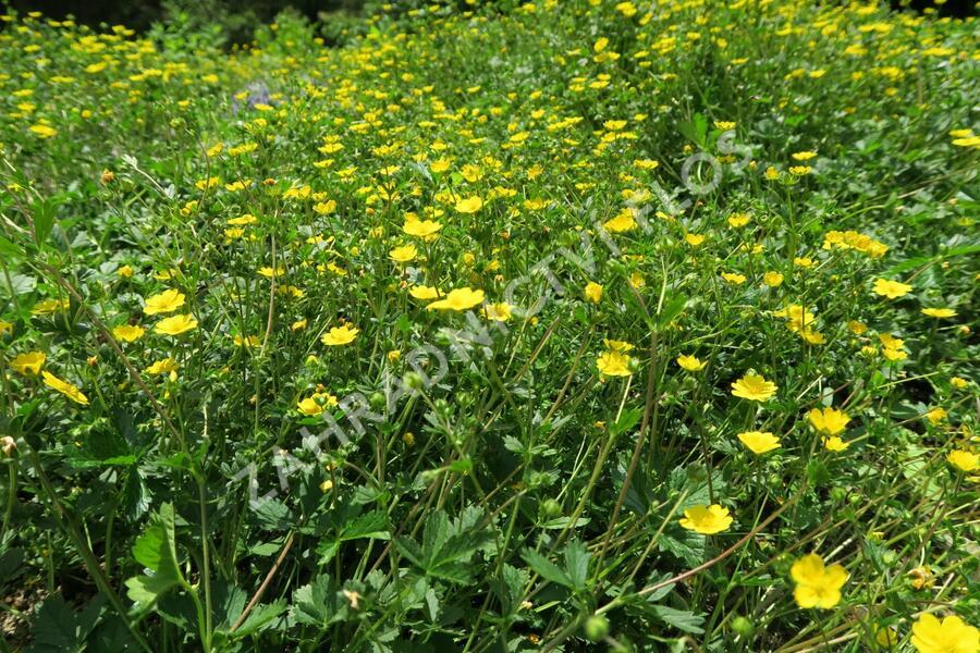 Mochna alpská - Potentilla crantzii