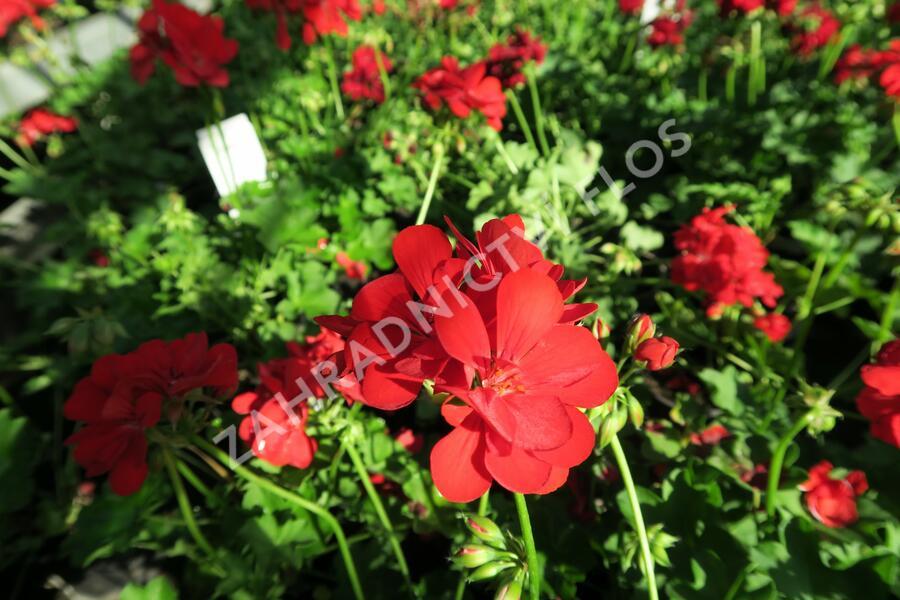 Muškát, pelargonie převislá plnokvětá 'Temprano Maxime' - Pelargonium peltatum 'Temprano Maxime'