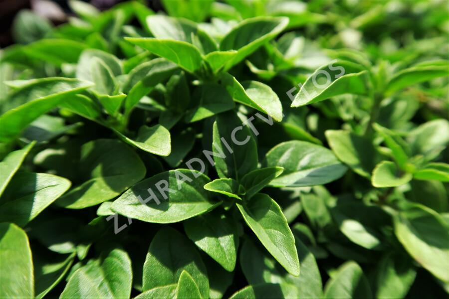 Bazalka pravá drobnolistá - Ocimum basilicum 'Compacta'