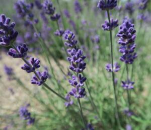 Levandule úzkolistá 'Blue Scent Early' - Lavandula angustifolia 'Blue Scent Early'