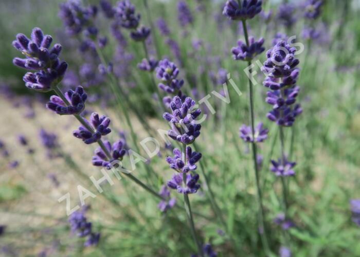 Levandule úzkolistá 'Blue Scent Early' - Lavandula angustifolia 'Blue Scent Early'