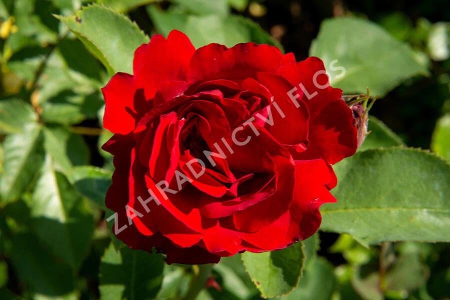 Růže mnohokvětá 'Lilli Marleen' - Rosa MK 'Lilli Marleen'