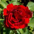 Růže mnohokvětá Kordes 'Lilli Marleen' - Rosa MK 'Lilli Marleen'