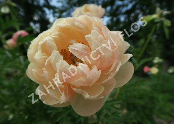 Pivoňka bělokvětá 'Coral Charm' - Paeonia lactiflora 'Coral Charm'