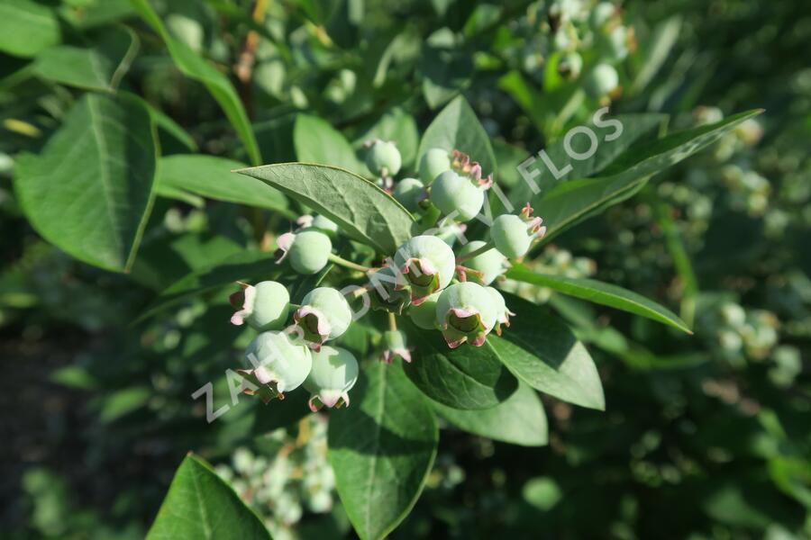 Borůvka chocholičnatá, kanadská borůvka 'Berkeley' - Vaccinium corymbosum 'Berkeley'