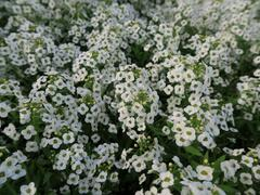 Tařicovka přímořská 'Lucia White' - Lobularia maritima 'Lucia White'