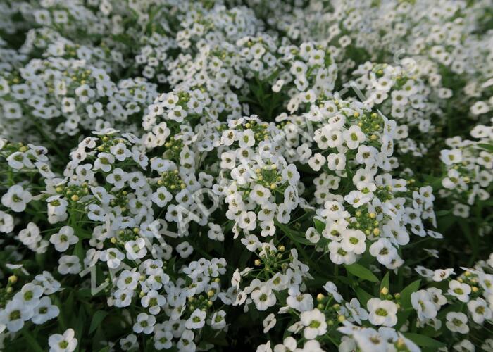 Tařicovka přímořská 'White' - Lobularia maritima 'White'