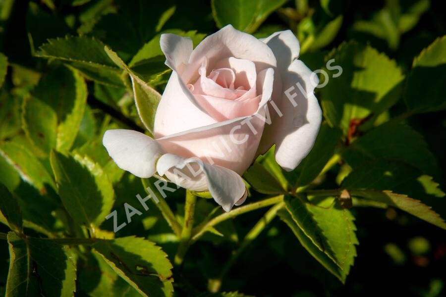 Růže půdopokryvná Tantau 'Aspirin' - Rosa PK 'Aspirin'