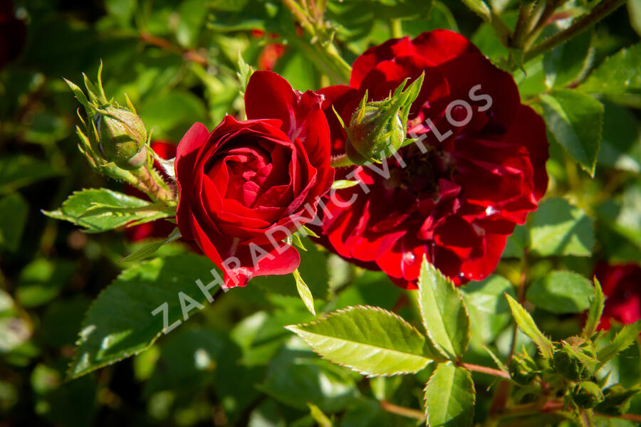 Růže půdopokryvná 'Rote The Fairy' - Rosa PK 'Rote The Fairy'