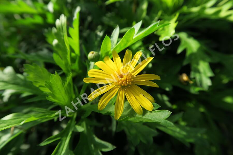 Kopretina 'Sonnenschein' - Euryops chrysanthemoides 'Sonnenschein'