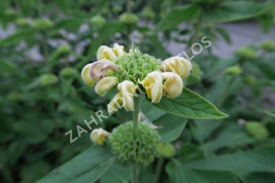 Sápa Russelova - Phlomis russeliana