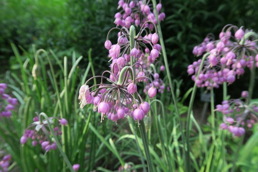 Česnek převislý - Allium cernuum