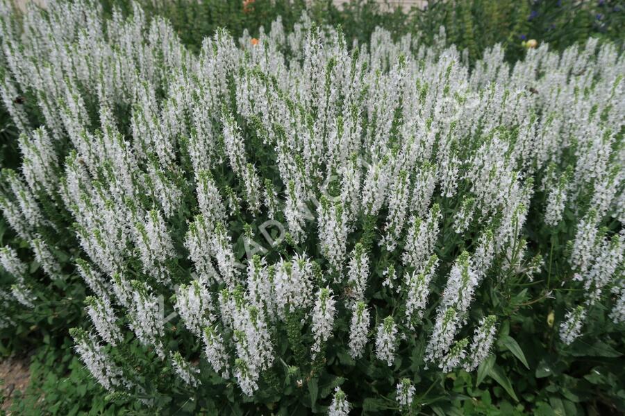 Šalvěj hajní 'Schneehügel' - Salvia nemorosa 'Schneehügel'