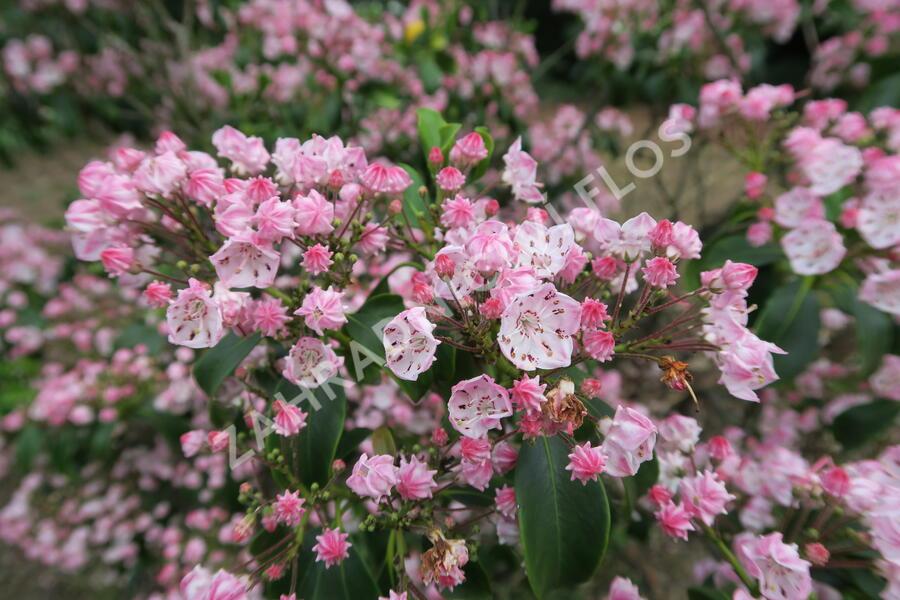 Mamota úzkolistá 'Rubra' - Kalmia angustifolia 'Rubra'