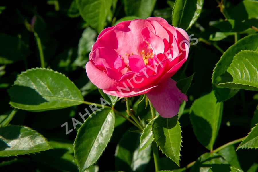 Růže mnohokvětá Kordes 'Angela' - Rosa MK 'Angela'