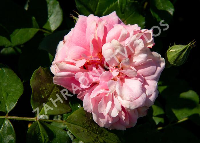 Růže parková Kordes 'Uetersens Rosenprinzessin' - Rosa S 'Uetersens Rosenprinzessin'