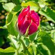 Růže velkokvětá Meilland 'Caprice de Meilland' - Rosa VK 'Caprice de Meilland'