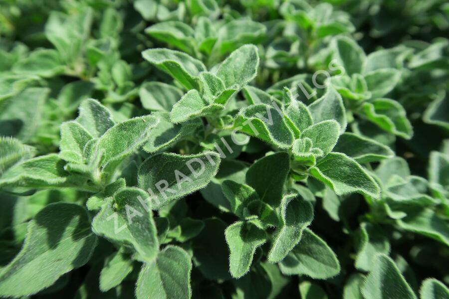 Dobromysl obecná 'Poncho' - Origanum vulgare 'Poncho'