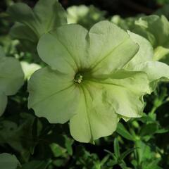Petúnie 'Pegasus Patio Lemon' - Petunia hybrida 'Pegasus Patio Lemon'
