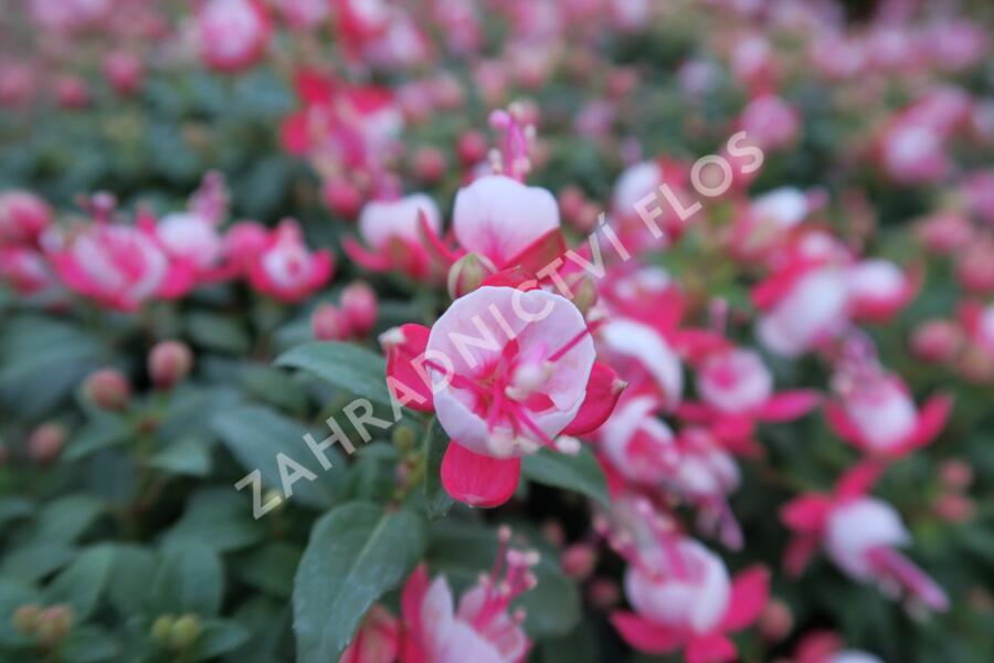 Čílko, fuchsie 'Candy' - Fuchsia hybrida 'Candy'