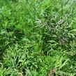 Kopr vonný 'Monarch' - Anethum graveolens 'Monarch'