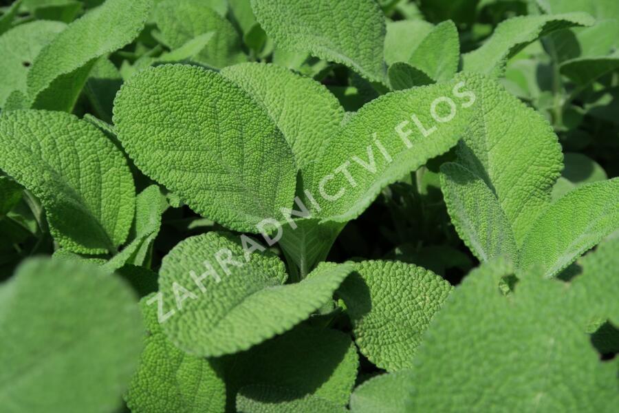Šalvěj lékařská 'Culinaria' - Salvia officinalis 'Culinaria'
