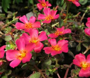 Šrucha 'Rose' - Portulaca umbraticola Imagine 'Rose'