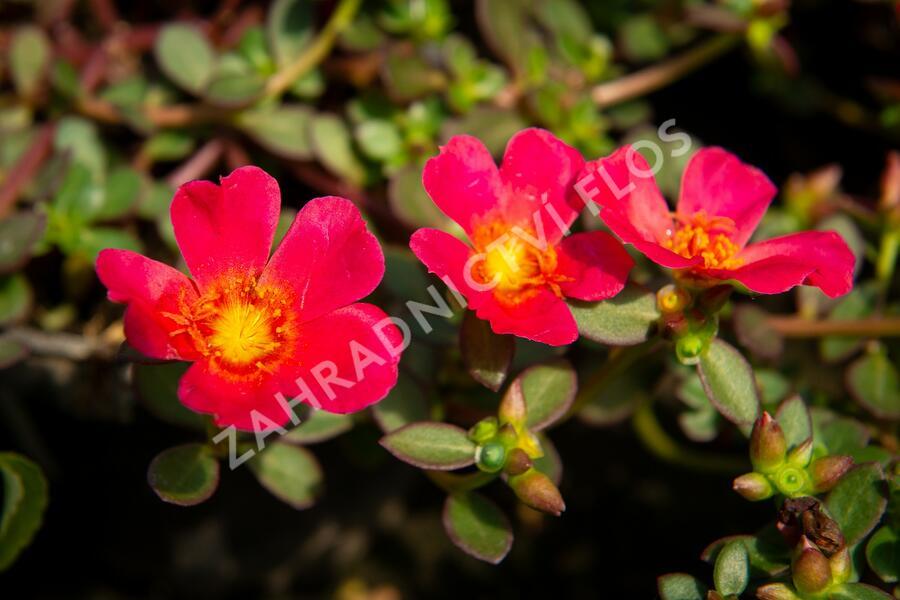 Šrucha 'Rose' - Portulaca umbraticola Imagine 'Rose'