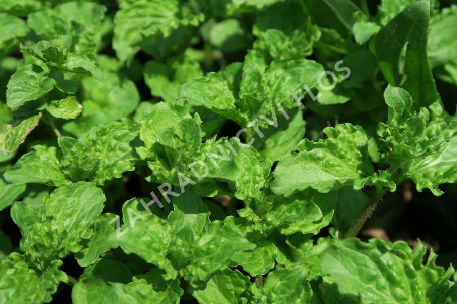 Máta klasnatá 'Crispa' - Mentha spicata 'Crispa'