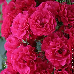 Růže mnohokvětá Kordes 'Gärtnerfreude' - Rosa MK 'Gärtnerfreude'