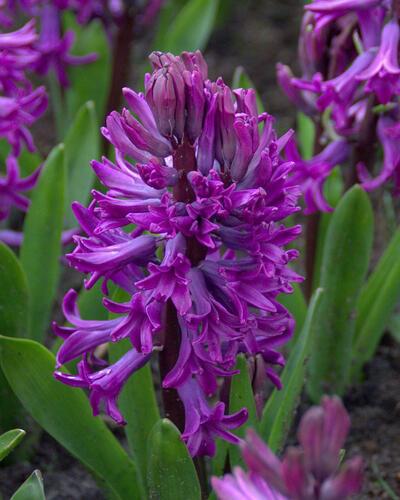 Hyacint 'Purple Sensation' - Hyacinthus 'Purple Sensation'