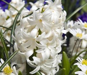Hyacint 'Carnegie' - Hyacinthus 'Carnegie'