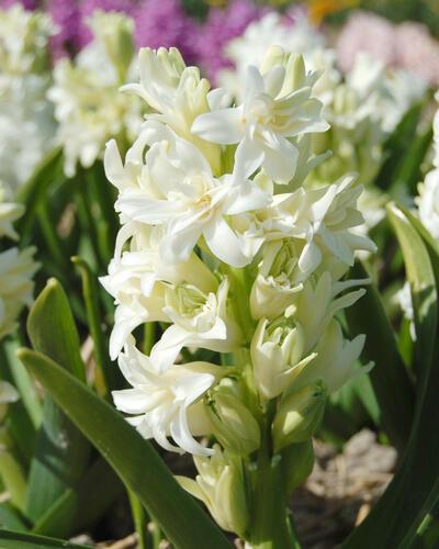 Hyacint dvojitý 'Snow Crystal' - Hyacinthus double 'Snow Crystal'