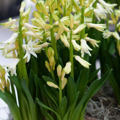Hyacint mnohokvětý 'White Festival' - Hyacinthus multiflora 'White Festival'