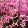 Hyacint mnohokvětý 'Pink Festival' - Hyacinthus multiflora 'Pink Festival'