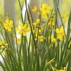 Narcis Jonquilla 'Baby Moon' - Narcissus Jonquilla 'Baby Moon'