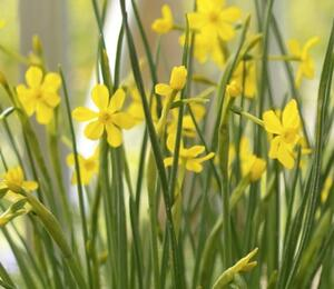 Narcis Jonquilla 'Baby Moon' - Narcissus Jonquilla 'Baby Moon'