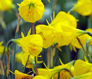 Narcis bulbocodium 'Casual Elegance' - Narcissus Bulbocodium 'Casual Elegance'