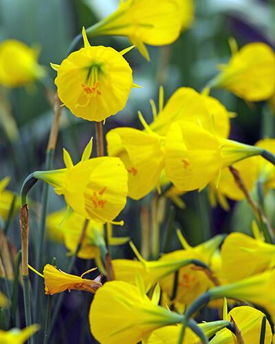 Narcis bulbocodium 'Casual Elegance' - Narcissus Bulbocodium 'Casual Elegance'