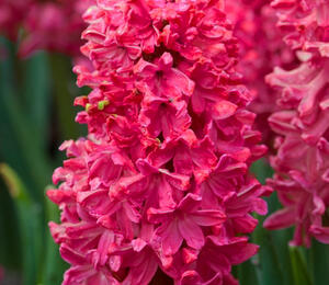 Hyacint 'Jan Bos' - Hyacinthus 'Jan Bos'
