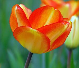Tulipán Darwin hybrid 'Amercan Dream' - Tulipa Darwin hybrid 'American Dream'