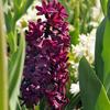 Hyacint 'Woodstock'® - Hyacinthus 'Woodstock'®