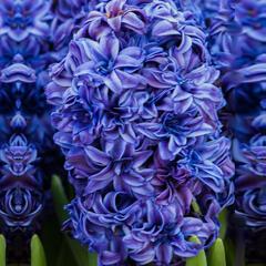 Hyacint 'Royal Navy'® - Hyacinthus 'Royal Navy'®