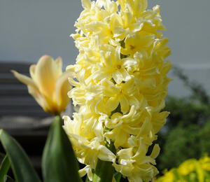 Hyacint 'City of Haarlem' - Hyacinthus 'City of Haarlem'