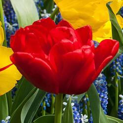 Tulipán 'Abba' - Tulipa double early 'Abba'