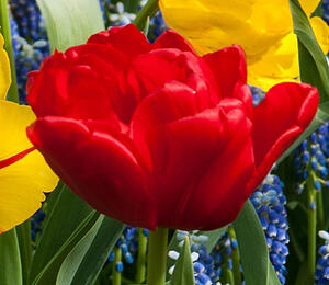Tulipán 'Abba' - Tulipa double early 'Abba'