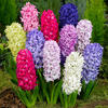Hyacint mix - Hyacinthus mix