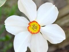 Narcis 'Actaea' - Narcissus 'Actaea'