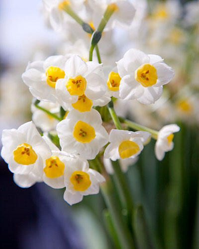 Narcis 'Avalanche' - Narcissus 'Avalanche'